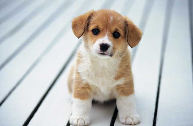Buying Your First Puppy
