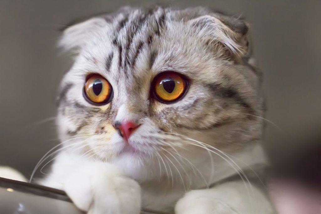 munchkin kedi cinsi ozellikleri ve bakimi