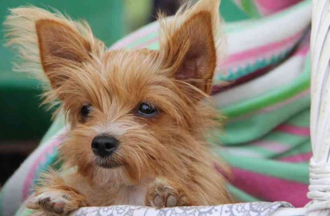 cutest dog breeds small